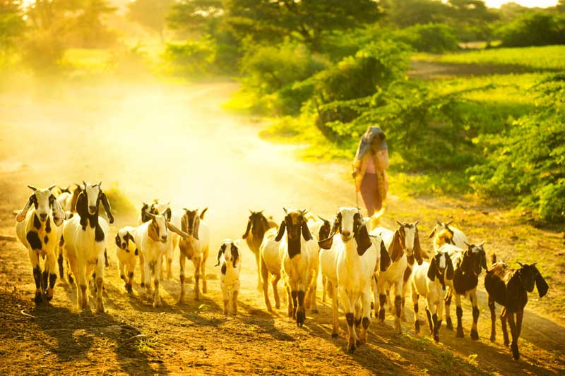 Goats-on-dusty-road